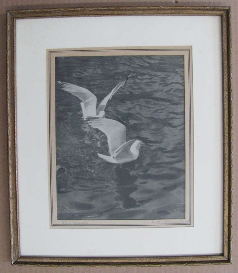 Image for Sea Gulls